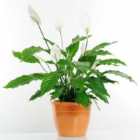 Peace lily (1)